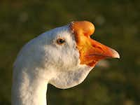 Wilbur, seen in September, stood out with a prominent knob on his orange beak and a flap of dangling skin under his neck.