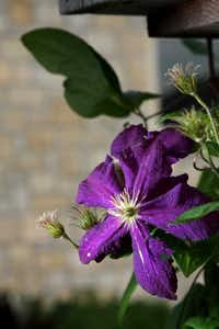 A 'Jackmanii' clematis, heavy with deep-purple flowers, is trained along a rustic fence by the house's drive.