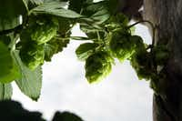 Quimby's son wanted to experiment with growing hops, so they trained a few plants up and over an arbor.