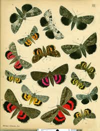 """From """"Butterfly People,"""" by William Leach: """"This plate shows many underwing moth species, all drawn and colored by Herman Strecker. ... These were published in Strecker's """"Lepidoptera"""" (1878)."""
