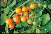 "'Sun Gold' ""may be the best-tasting tomato in the world,"" says Tom LeRoy, co-author of The Southern Kitchen Garden.( W. Atlee Burpee  - W. Atlee Burpee)"