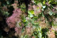 American smoketree (Cotinus obovatus) is very heat and drought tolerant and highly tolerant of limestone soils. It has billowy spring panicles of showy pink to purple-pink flowers, which from a distance look like a haze or smoke rising from the tree.Lara Solt - Staff Photographer