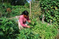 Buddi Rai, an ethnic Nepali from Bhutan, harvests crop from a plot at the Live Oak Community Garden, managed by Gardeners in Community Development. Rai said she has lived in the United States for 4 years after spending about two decades in a Bhutanese refugee camp.