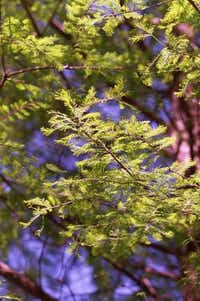 A close up of the leaves of a Bald Cypress.Evans Caglage