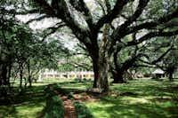 Live oak at Louisiana's Melrose Plantation.(Courtesy photo)