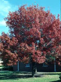 A Shumard red oak in the fall after the leaves turn.(Courtney Perry/Fashion at the Park)