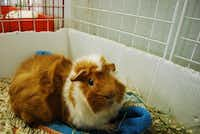 One of the hosted animals at Texas Rustlers Guinea Pig Rescue reacts to a noise across the room. The facility is home to a total of 76 rodents, including guinea pigs, rabbits, hamsters and rats.(Daniel Houston - neighborsgo staff)