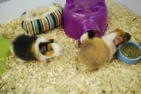 A trio of guinea pigs wanders around the habitat at Texas Rustlers Guinea Pig Rescue in Lewisville.(Daniel Houston - neighborsgo staff)