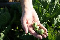 Chip VanPelt holds brussel sprouts from the winter planting crop at Fresh Connections Community Garden at Buckingham United Methodist Church.