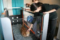 Skinny the cat spends time each morning walking about 15-20 minutes on this underwater treadmill at Dr. Brittney Barton's newly opened HEAL Veterinary Hospital. The exercise has helped him reach his current weight of about 27 pounds, which is down 15 pounds since he was found last September.