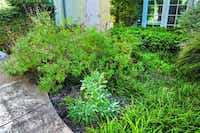 After moving to Edgemere retirement community in North Dallas, Lane Furneaux furtively instigated an herb bed to replace standard landscaping.