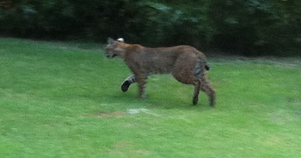 Bobcat Spotted In Plano S Chisolm Trail Park Last