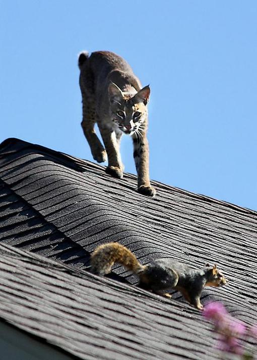 On Our Photography Blog Bobcat Stalking Prey In Plano News Dallas