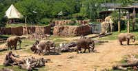 From left, Congo, Zola, Tendaji and Kamba at the Giants of Savanna. (Dallas Zoo)