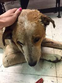 Just this weekend, this street dog was picked up in really bad shape in Fair Park, with horrific ear infections, bite wounds and a possible bullet wound. He's a lucky one, thanks to two rescue angels who took him to a vet and reached out to a rescue group for long-term help.