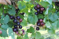 Muscadine grapes are small and often tart. Newer varieties have a higher sugar content.(Justin Scheiner/Texas A&M University)