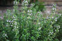 """<p>Garden thyme<span style=""""font-size: 1em; line-height: 1.364; background-color: transparent;"""">is the all-purpose thyme of the kitchen garden.</span></p>(Ann McCormick/Special Contributor)"""