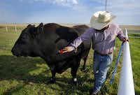 Ranch manager Landon Canterbury brushes Alpha, a 2 1/2-ton cloned bull, at the West Texas A&M University Nance Ranch east of Canyon, Texas, Thursday, June 23, 2016. Canterbury raised Alpha from birth.  The four year old bull was cloned from Prime Yield Grade 1 carcass muscle tissue. (Tom Fox/The Dallas Morning News)(Tom Fox/Staff Photographer)