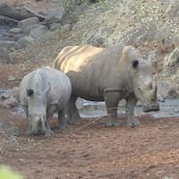 White rhinos at Mosi-oa-Tunya National Park in Zambia are guarded round the clock from poachers.(Wesley K.H. Teo)