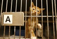 A sick kitten is treated inside the shelter's cat isolation room.(Jae S. Lee/Staff Photographer)