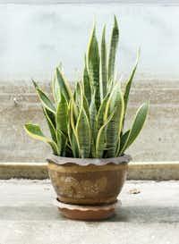 "<p>Snake plant (<em style=""font-size: 1em; line-height: 1.364; background-color: transparent;"">Sansevieria trifasciata)</em></p>(Karimpard/Getty Images/iStockphoto)"