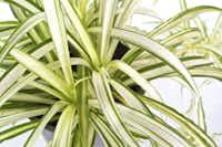 "<p>Spider plant<span style=""font-size: 1em; line-height: 1.364; background-color: transparent;"">(</span><em style=""font-size: 1em; line-height: 1.364; background-color: transparent;"">Chlorophytum comosum</em><span style=""font-size: 1em; line-height: 1.364; background-color: transparent;"">)</span></p>(krailurk/Getty Images/iStockphoto)"