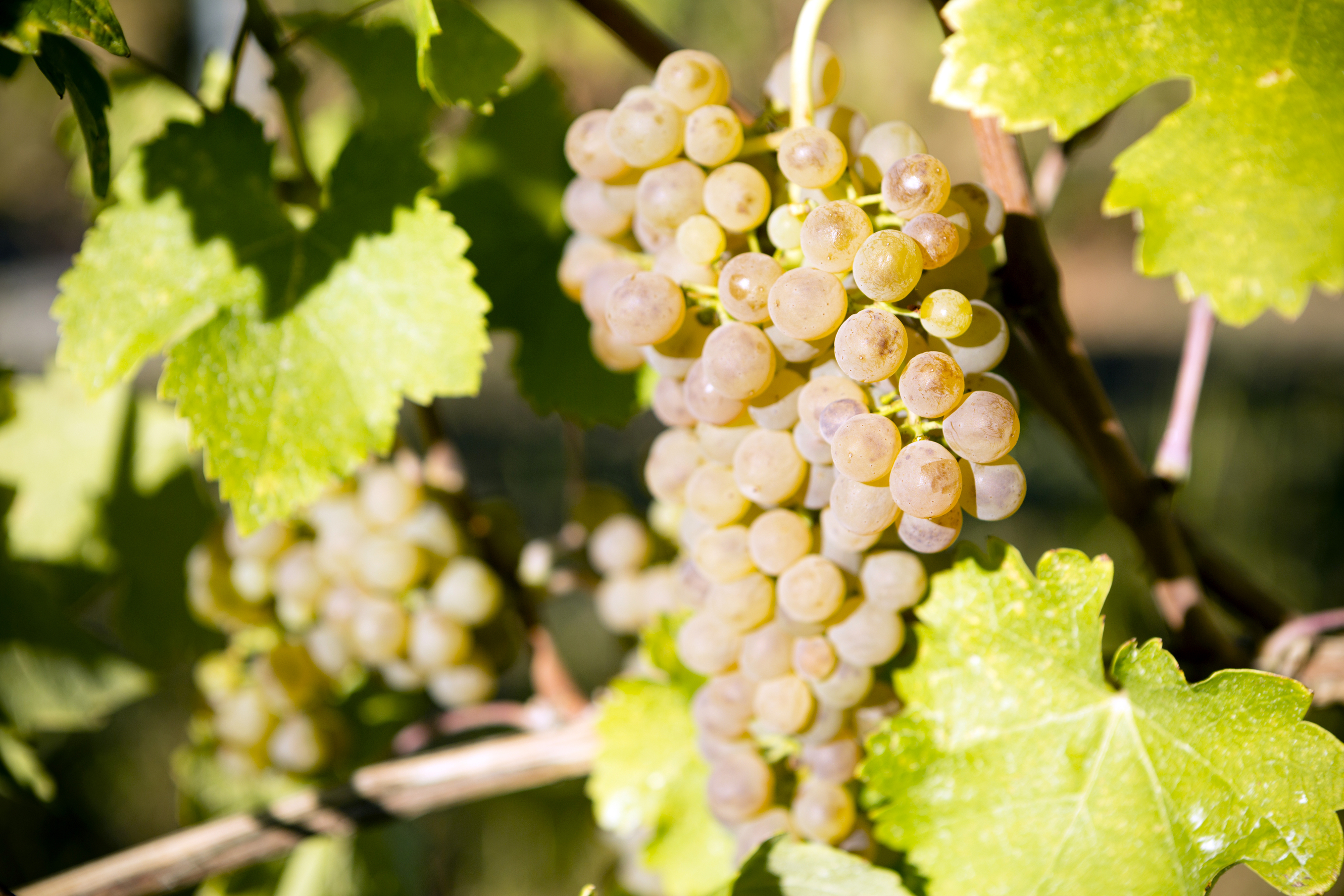 Timur grapes: description of the variety, care, cultivation and reviews 93