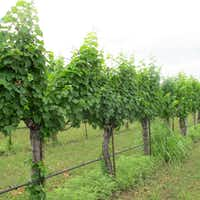 Grapevines at Spicewood Vineyards(Tina Danze)