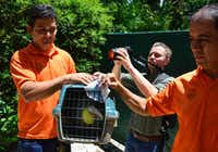 Staff members of ZooAve animal sanctuary carry Grecia the toucan in Alajuela, Costa Rica.(EZEQUIEL BECERRA Getty Images)