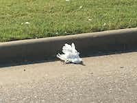 A dead egret lies near a curb on New Clark Road in Cedar Hill. Animal control officers estimate they pick up dozens of dead and injured birds a day.(Loyd Brumfield/Staff)