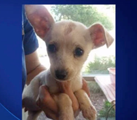 Treasure, a Chihuahua rescued from a garbage can in Cedar Hill