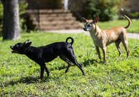 Loose dogs without collars bark at cars passing by on W 12th St. on Friday, May 6, 2016 in Dallas. (Ashley Landis/The Dallas Morning News)(Staff Photographer)