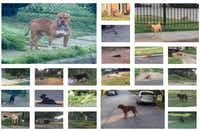 """A group of photos in a Boston Consulting Group report shows numerous loose dogs that the group's team observed while conducting a """"census"""" of loose dogs on the streets of Dallas."""