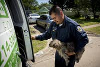 Esteban Rodriguez of Dallas Animal Services loads a stray dog into the back of his van in southern Dallas.(G.J. McCarthy/Staff Photographer)
