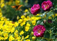 Roses were the first part of the Earth-Kind program.(Louis DeLuca/Staff Photographer/The Dallas Morning News)