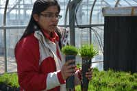 Turf grass breeder Dr. Ambika Chandra in the greenhouse at the Texas A&M AgriLife Research and Extension Center in Dallas. (Kathleen Phillips/TAMU AgriLife Research)