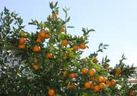 Orange Frost Satsuma, a small orange tree that can be grown in North Texas, has been named a Texas Superstar by AgriLife Extension & Research. It is cold hardy to 25 degrees. (AgriLife Extension Research)