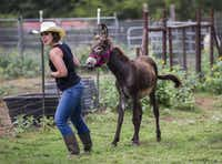 Jess Anselment leads Charlie the donkey to a trailer.(Ashley Landis/Staff Photographer)