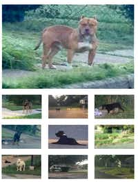 "A group of photos in the Boston Consulting Group report shows loose dogs their team observed while conducting a ""census"" of loose dogs on the streets of Dallas.(Boston Consulting Group)"