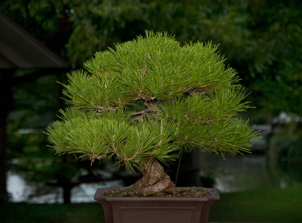 A Black Pine Bonsai (Nan Coulter/Special Contributor)u0026nbsp;(Special  Contributor