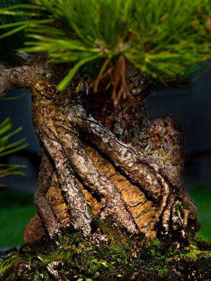 Dallas Bonsai Whisperer Has A Tree That S More Than 700 Years Old