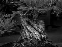 This Bonsai Tree Owned By Dallas Bill Ward Is Estimated To Be More Than 700