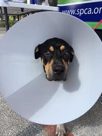 """<p>Cooie, a 1-year-old&nbsp;<span style=""""font-size: 1em; background-color: transparent;"""">Cane Corso-Rottweiler mix, recovers from surgery wearing an epic """"cone of shame.""""</span></p>(Sarah Mervosh/Staff)"""