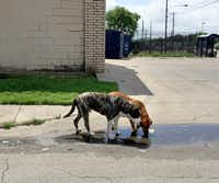 Two loose dogs drink from a puddle on Jamaica Street at Second Avenue in southern Dallas on April 25, 2016. (Guy Reynolds/Staff Photographer)