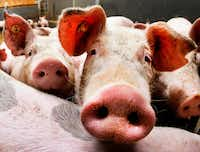 Pigs look into the camera in a stall of a pig farmer who has 800 pigs in Frankfurt, Germany, Tuesday, Oct. 4, 2016. (AP Photo/Michael Probst)(AP)