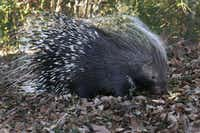 Chimalsi, an African Crested Porcupine, livces at the Dallas Zoo.