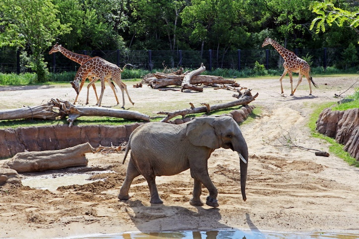 Dallas Zoo's newest elephant makes public debut after ... Zoo