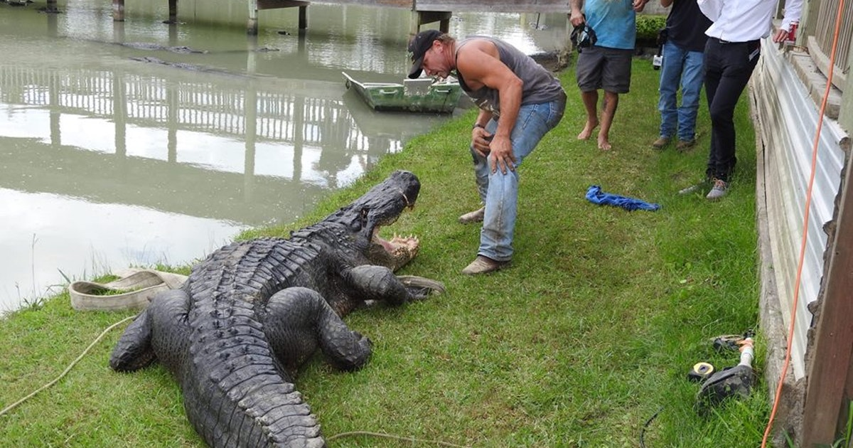 900 Pound Alligator May Be Largest Ever Caught Alive In