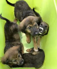 Puppies found by a sanitation worker in southern Dallas on Monday.(Dallas Animal Services)