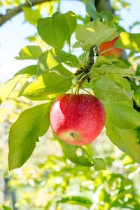 "Red Gala apples<p><span style=""font-size: 1em; background-color: transparent;"">The Davey Tree Expert Company</span><br></p><p></p>"
